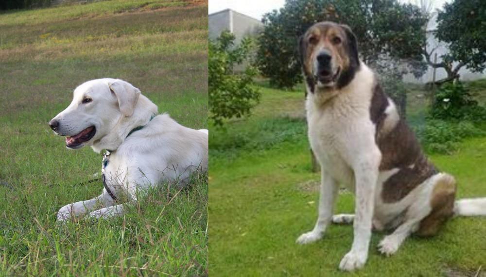Cao de Gado Transmontano vs Akbash Dog