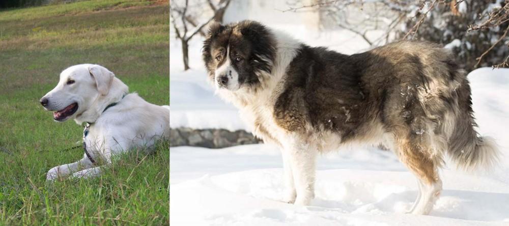 Caucasian Shepherd vs Akbash Dog