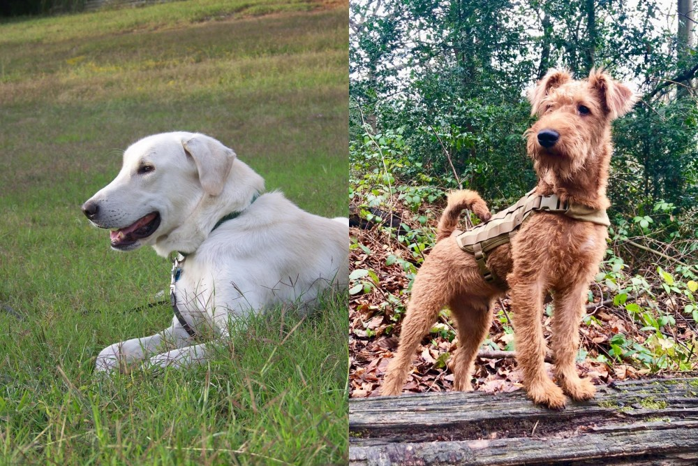 Irish Terrier vs Akbash Dog