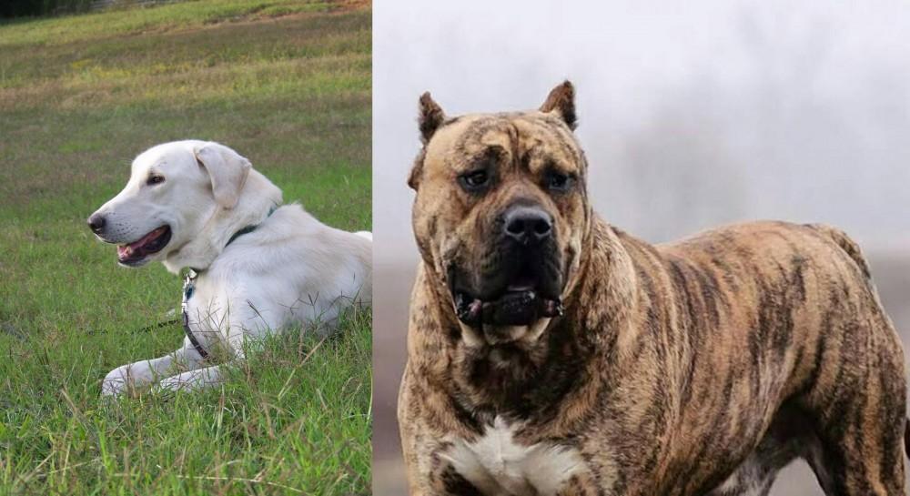 Perro de Presa Canario vs Akbash Dog