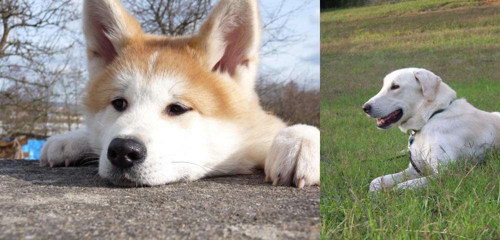Akita vs Akbash Dog