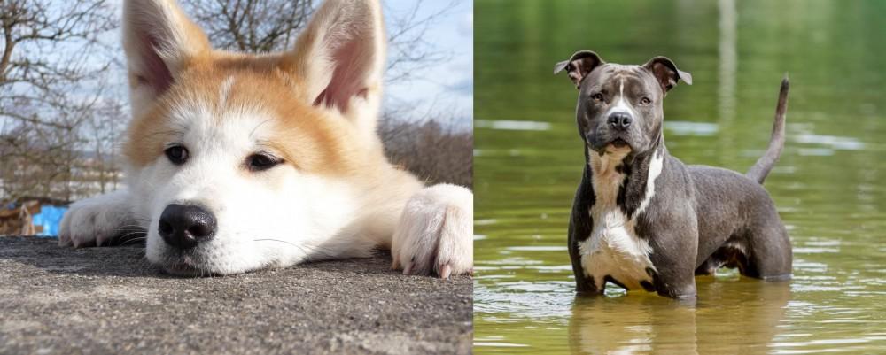 American Staffordshire Terrier vs Akita