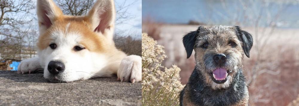 Border Terrier vs Akita