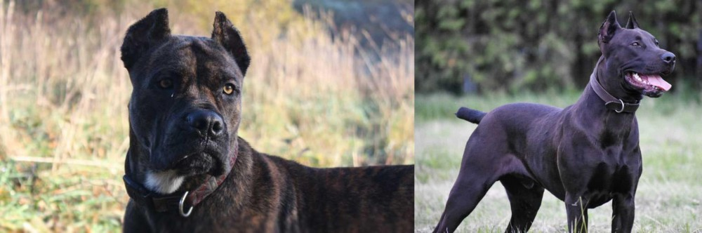 Canis Panther vs Alano Espanol