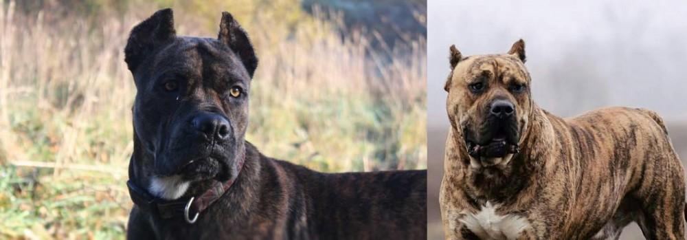 Perro de Presa Canario vs Alano Espanol