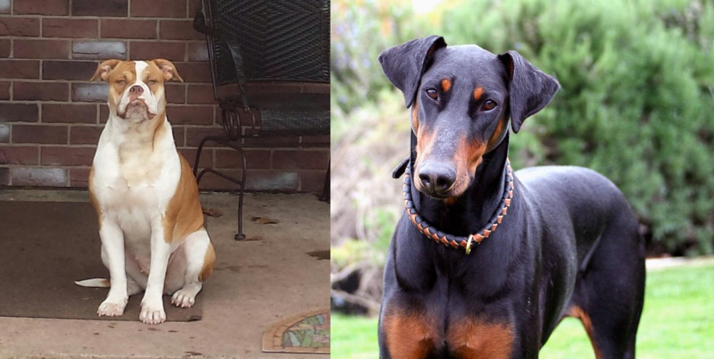 Alapaha Blue Blood Bulldog vs Doberman Pinscher