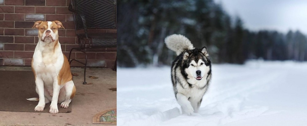 Alapaha Blue Blood Bulldog vs Siberian Husky