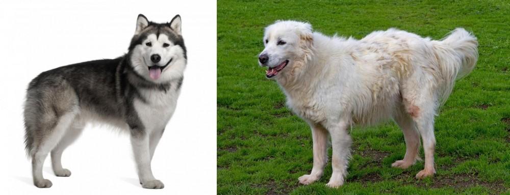 Alaskan Malamute vs Abruzzenhund