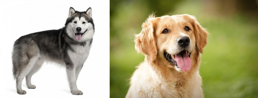 Alaskan Malamute vs Golden Retriever