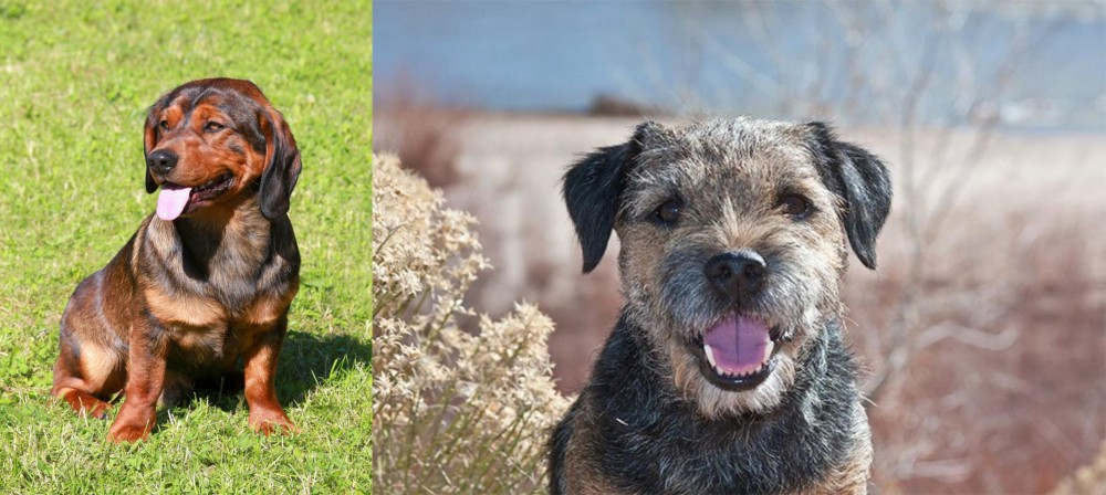Border Terrier vs Alpine Dachsbracke