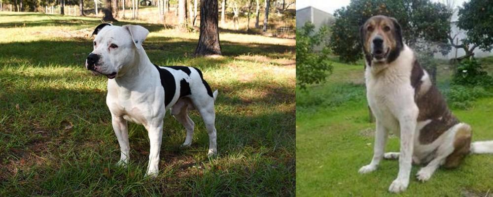 Cao de Gado Transmontano vs American Bulldog