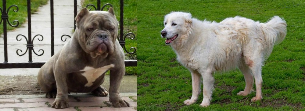 Abruzzenhund vs American Bully