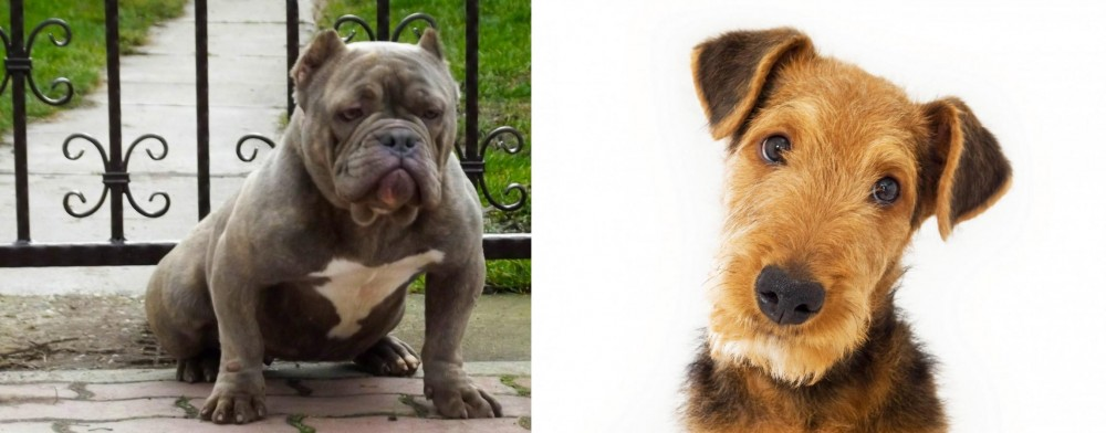 Airedale Terrier vs American Bully