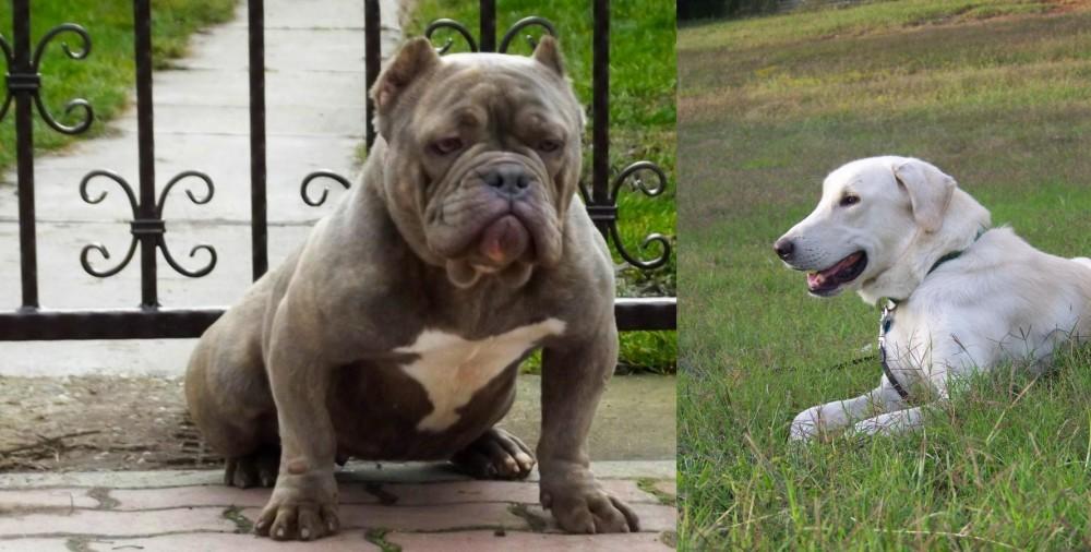 Akbash Dog vs American Bully