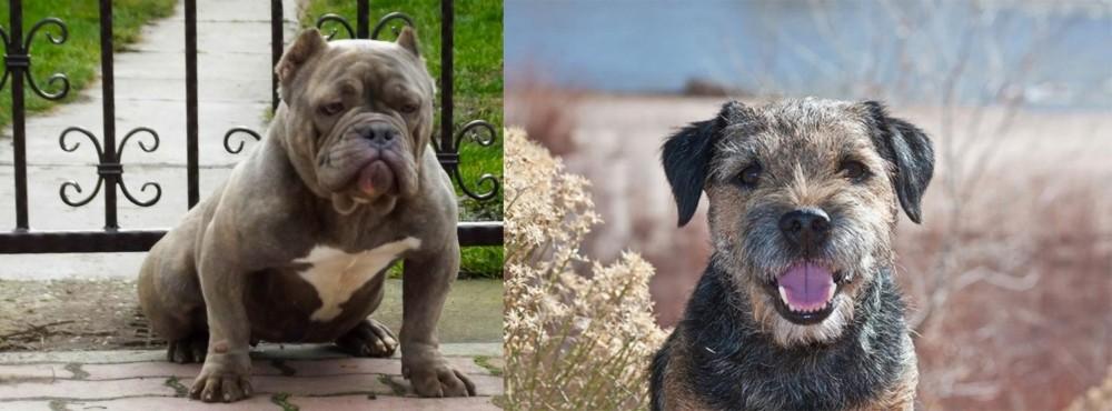 Border Terrier vs American Bully