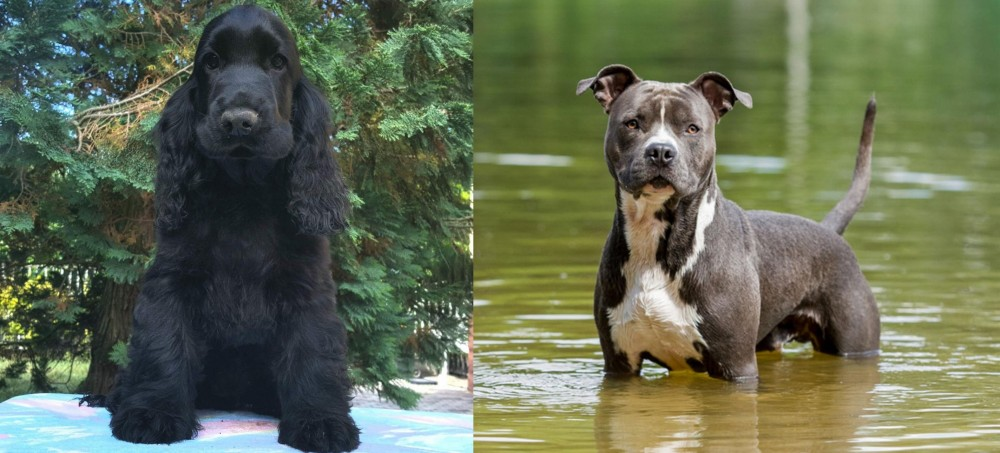 American Staffordshire Terrier vs American Cocker Spaniel