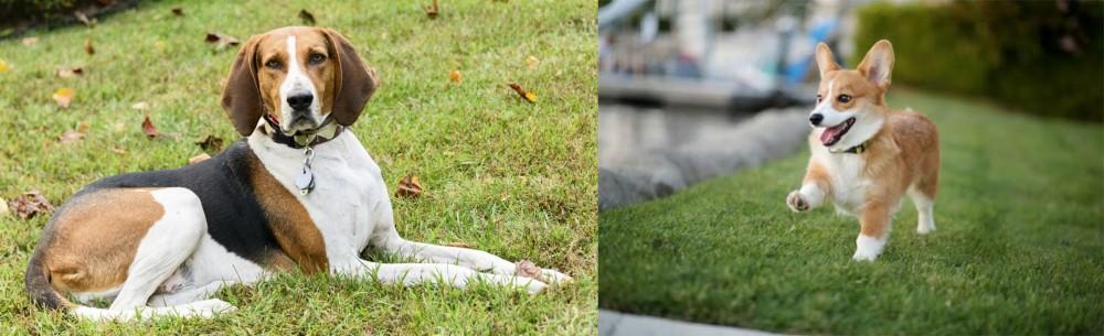 Welsh Corgi vs American English Coonhound