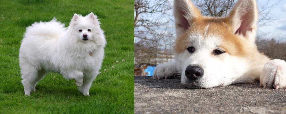 American Eskimo Dog vs Akita