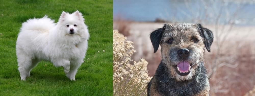 Border Terrier vs American Eskimo Dog
