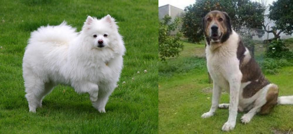Cao de Gado Transmontano vs American Eskimo Dog