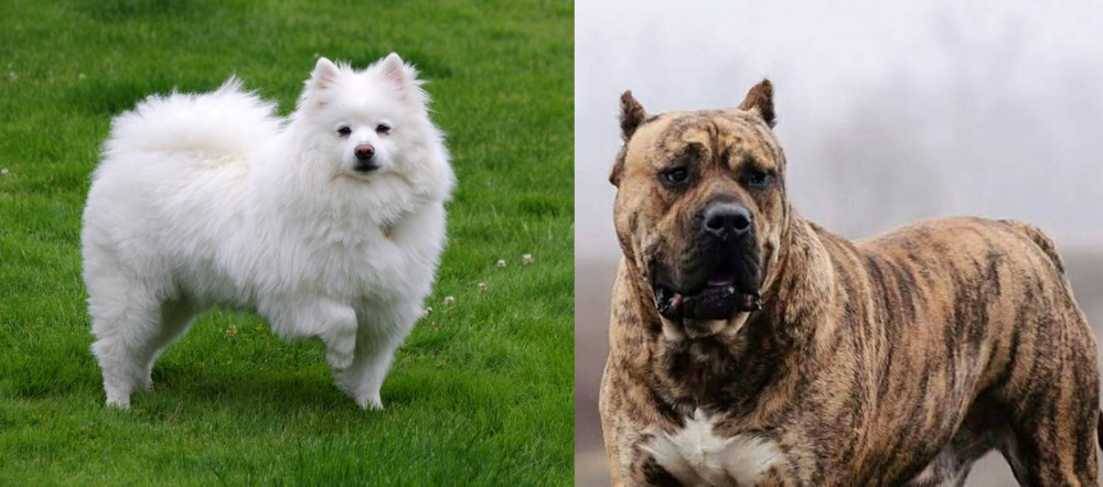 Perro de Presa Canario vs American Eskimo Dog