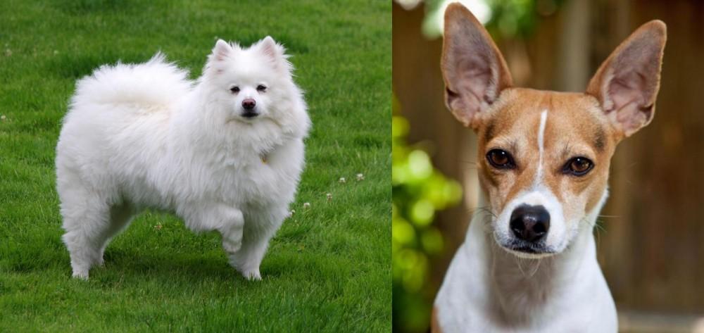 Rat Terrier vs American Eskimo Dog
