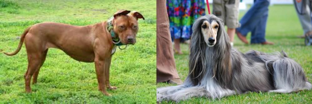 American Pit Bull Terrier vs Afghan Hound