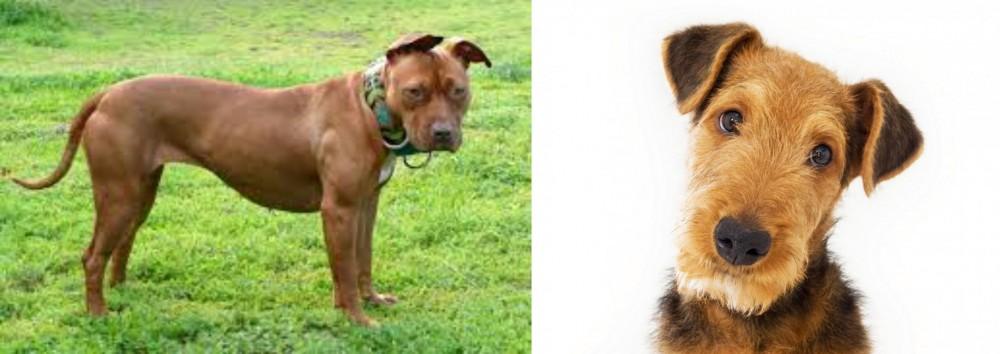 American Pit Bull Terrier vs Airedale Terrier