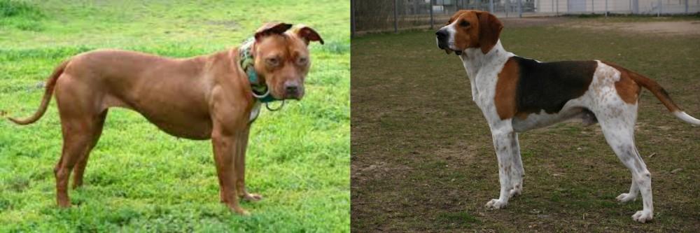 American Pit Bull Terrier vs Anglo-Francais de Petite Venerie