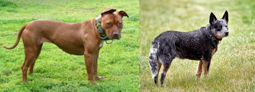 American Pit Bull Terrier vs Austrailian Blue Heeler