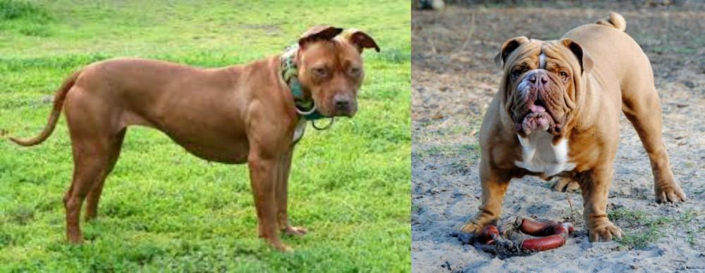 American Pit Bull Terrier vs Australian Bulldog