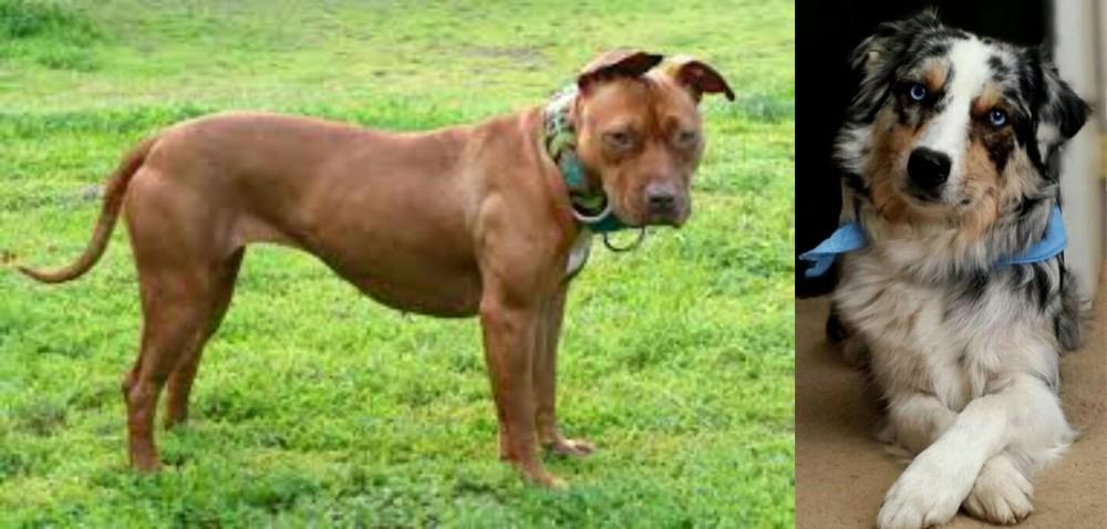 American Pit Bull Terrier vs Australian Collie
