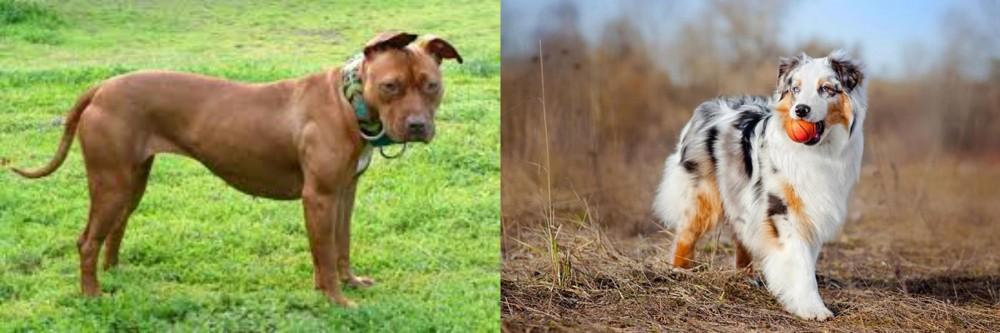 American Pit Bull Terrier vs Australian Shepherd