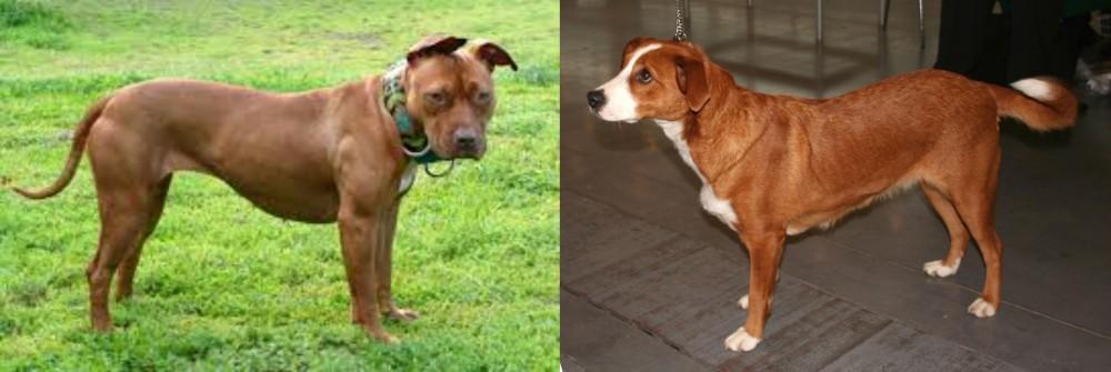 American Pit Bull Terrier vs Austrian Pinscher