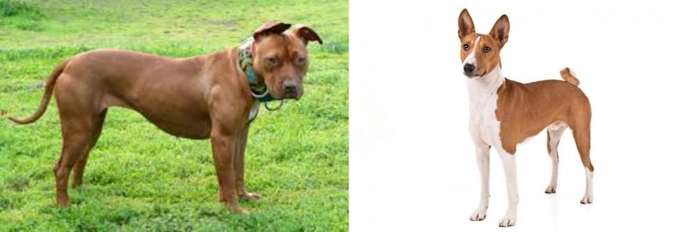 American Pit Bull Terrier vs Basenji