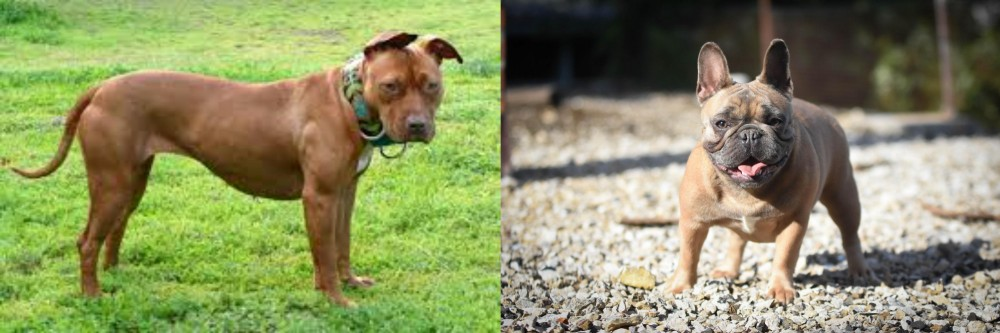 American Pit Bull Terrier vs French Bulldog