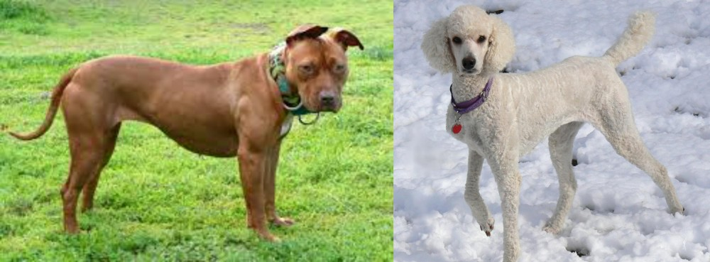 American Pit Bull Terrier vs Poodle