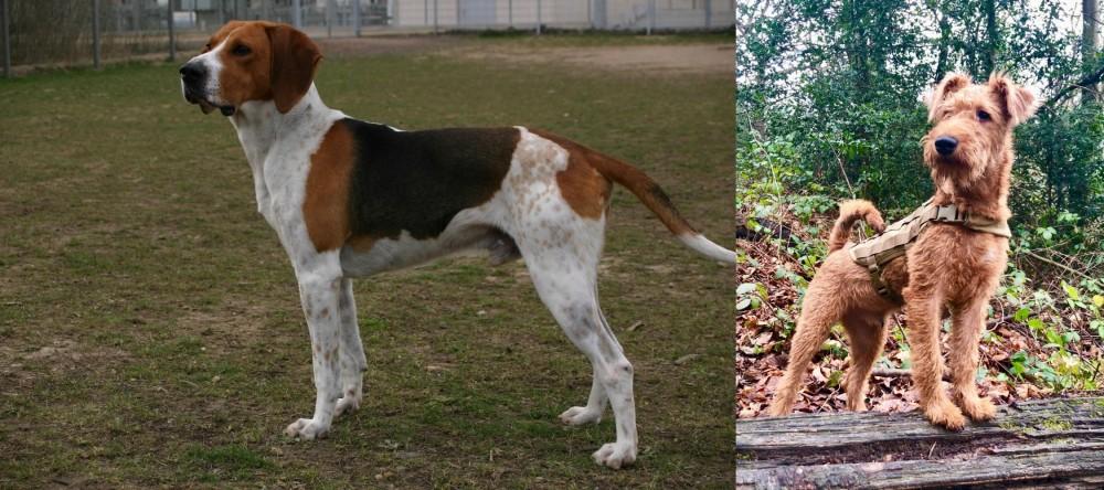 Irish Terrier vs Anglo-Francais de Petite Venerie