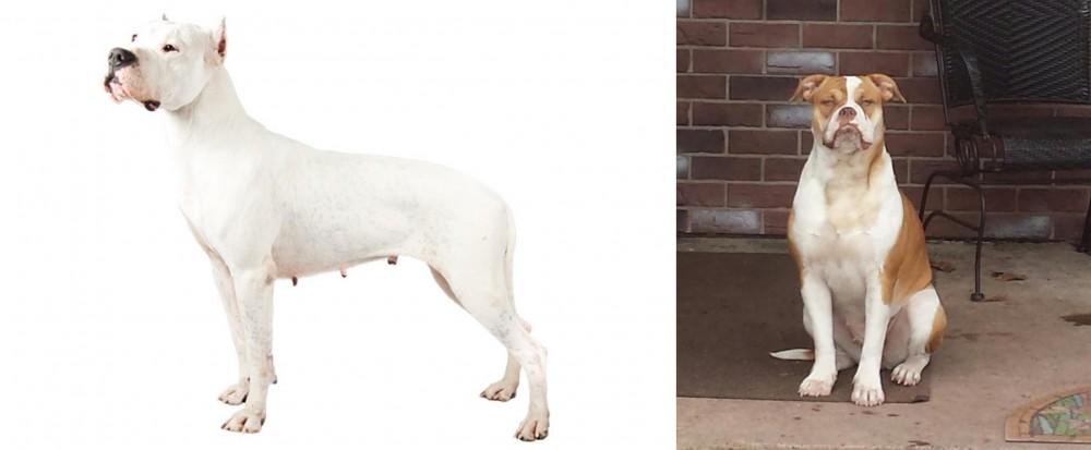 Argentine Dogo vs Alapaha Blue Blood Bulldog