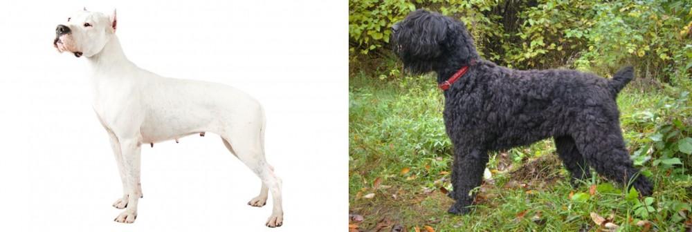 Argentine Dogo vs Black Russian Terrier