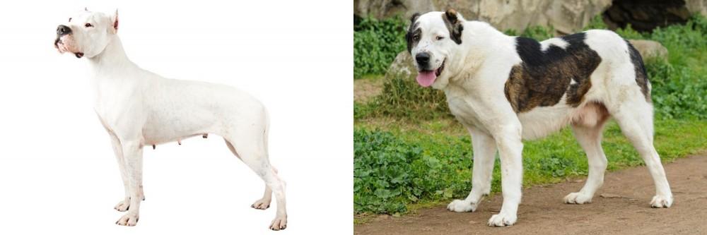 Argentine Dogo vs Central Asian Shepherd