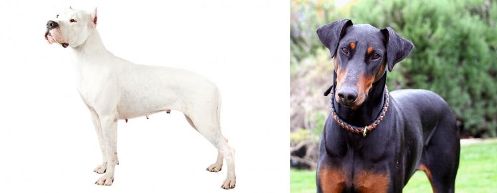 Argentine Dogo vs Doberman Pinscher