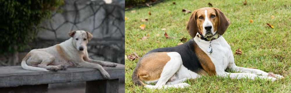 American English Coonhound vs Askal