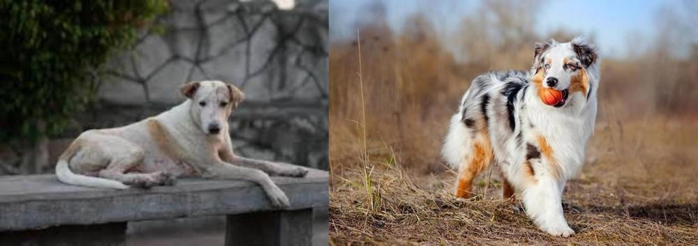 Australian Shepherd vs Askal