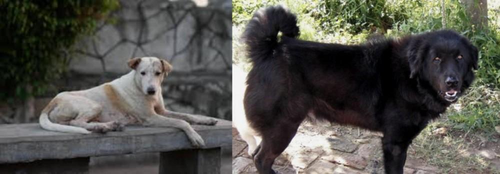 Bakharwal Dog vs Askal