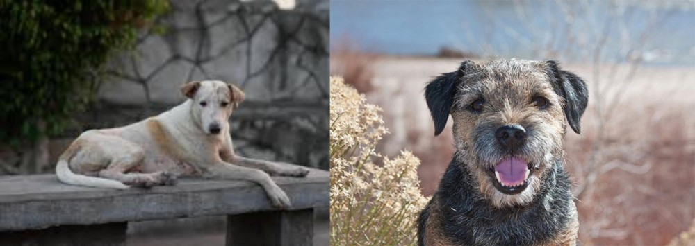 Border Terrier vs Askal