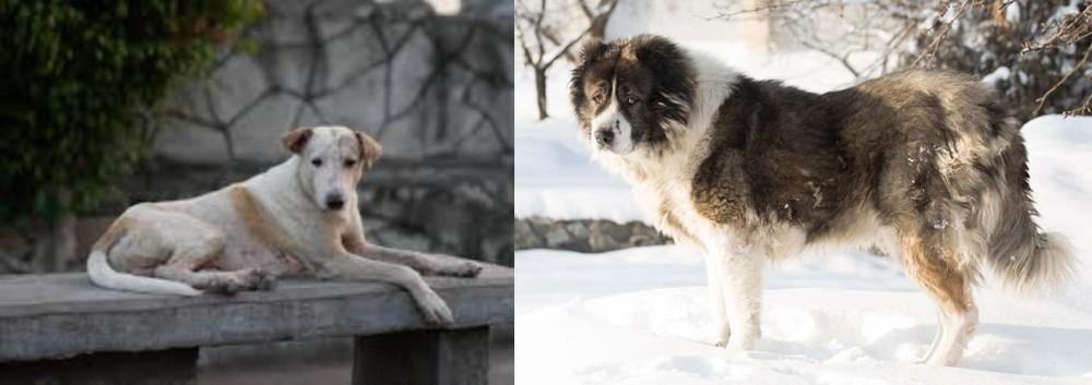 Caucasian Shepherd vs Askal