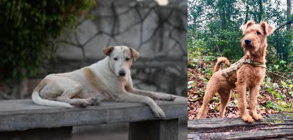 Irish Terrier vs Askal
