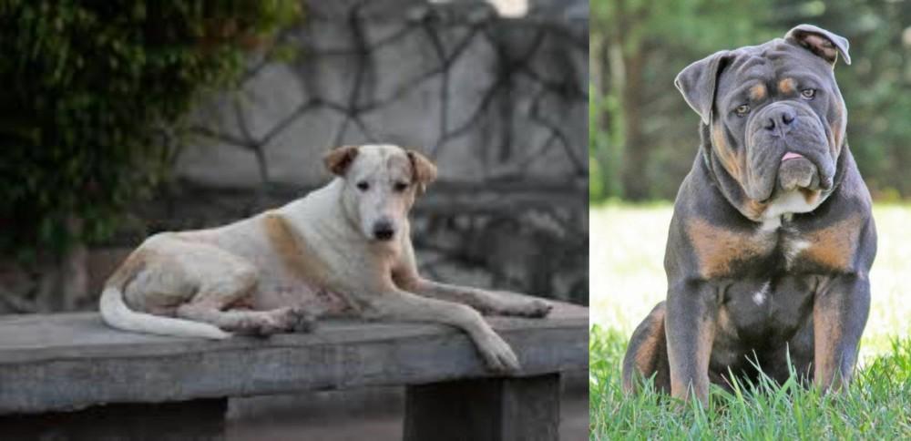 Olde English Bulldogge vs Askal