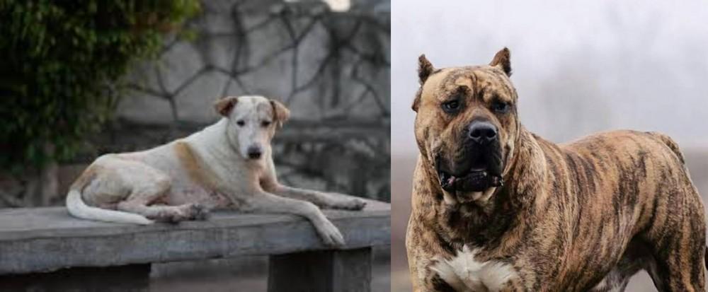 Perro de Presa Canario vs Askal